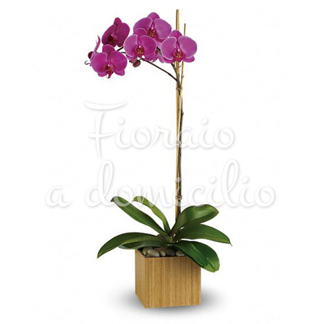 Orchidea phalenopsis viola fiori per san valentino for Orchidea foglie gialle